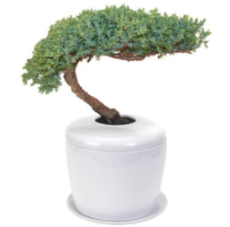 Traditional Windswept Juniper Bonsai Tree <i>(juniper procumbens nana)</i><br> and Porcelain Ceramic Cremation Urn<br>with Matching Humidity / Drip Tray